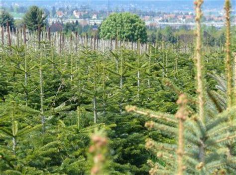 weihnachtsbaum dresden weihnachtsbaumverkauf auf gut pesterwitz gut pesterwitz