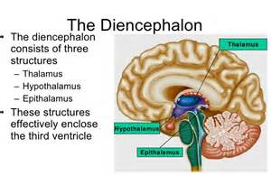 Floor Of Mouth Anatomy by What Is Diencephalon