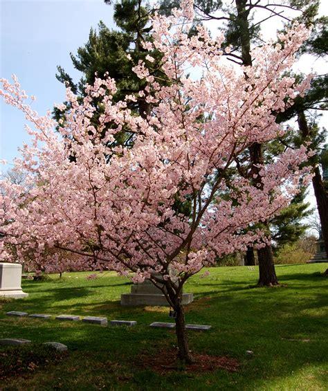 cherry trees accolade flowering cherry