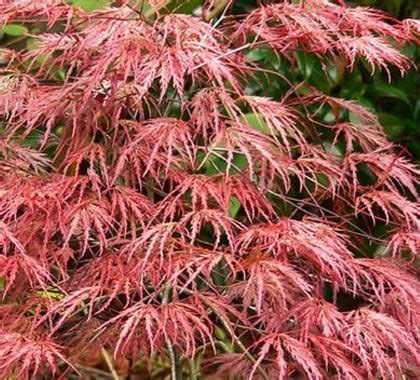 maple tree zone 10 469 best images about japanese maple trees on scarlet trees and