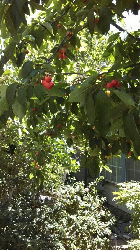 cherry tree wisnie w czekoladzie 17 best images about modesto on a w root departments and cas