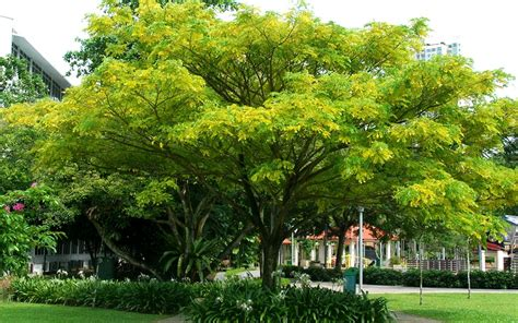 singapore tree for tree hugger runners types of trees you can see along