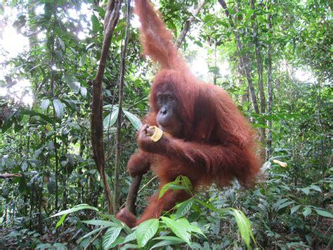 animal jungle monkeys on orangutans jungle animals and