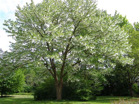 tree of davidia involucrata ghost tree dove tree leafland