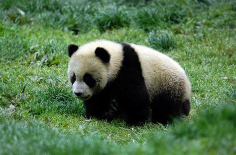 panda china the pictures panda in china