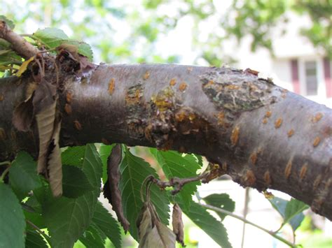 cherry tree pests weeping cherry tree ask an expert