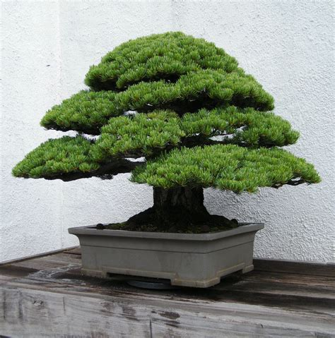 Japanese White Pine Bonsai Rare Tree « LaBonsai.com