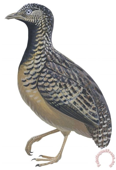 paint color quail others button quail painting button quail print for sale