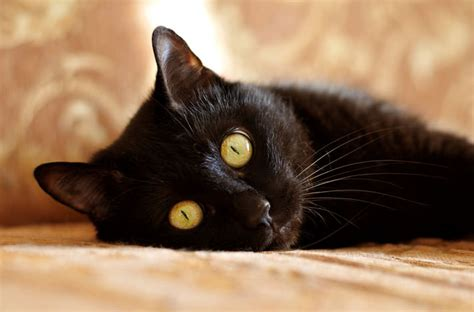 black cat black cat breeds and history petcha