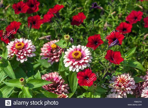 zinnia flower garden zinnia elegans 180 swizzle cherry ivory 180 and petunia