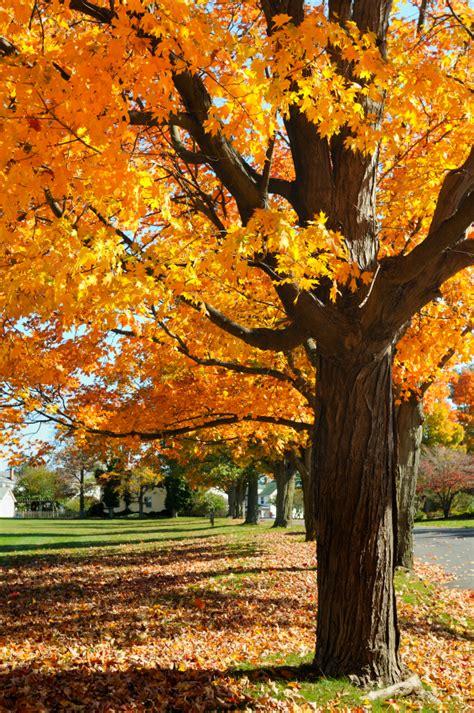 maple tree species maple tree identification mapping blain s farm fleet