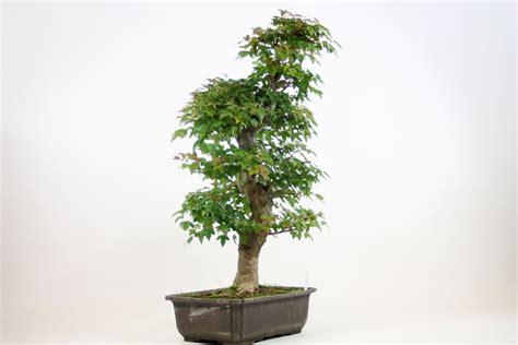 maple bonsai tree uk trident maple bonsai tree number 639 all things bonsai