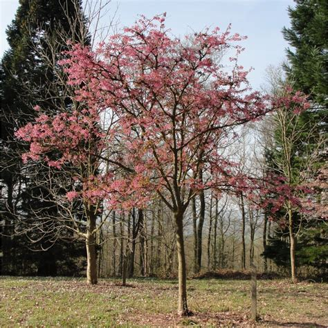 cherry tree images
