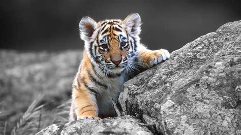 of tiger tiger wallpaper 1920x1080 82444