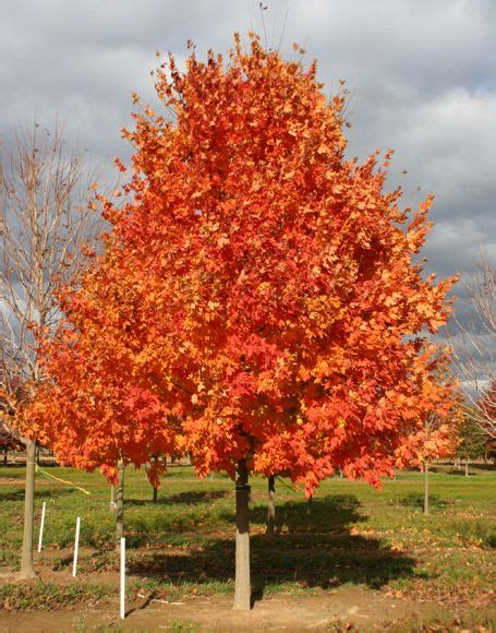 maple tree nursery finally we re hoping our commemoration sugar maple has colors this landscape ideas