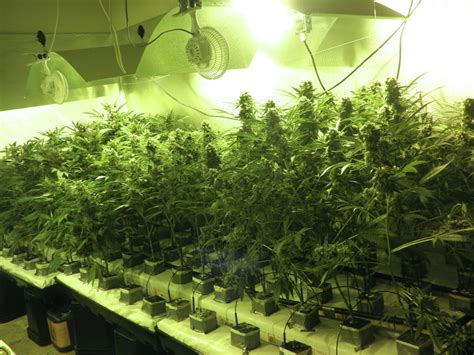 culture de cannabis en coco philosopher seeds