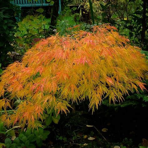 japanese maple tree zone 9 waterfall japanese maple for sale the tree center