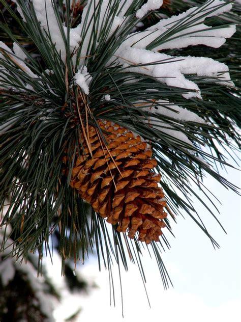 with pine cones composites philippines pine cones and