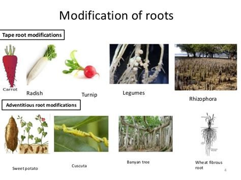 Modification Of Root by Root Genetic Research And Its Application In Plant