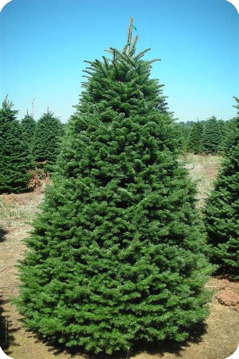 noble fir tree pictures noble fir coniferous forest