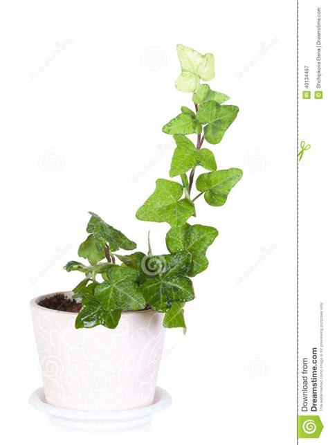 lierre dans un pot en c 233 ramique photo stock image 40134497
