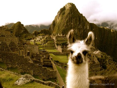 Posters Home Decor by Quot Baby Alpaca At Machu Picchu Quot By Danielle Chappell Hall