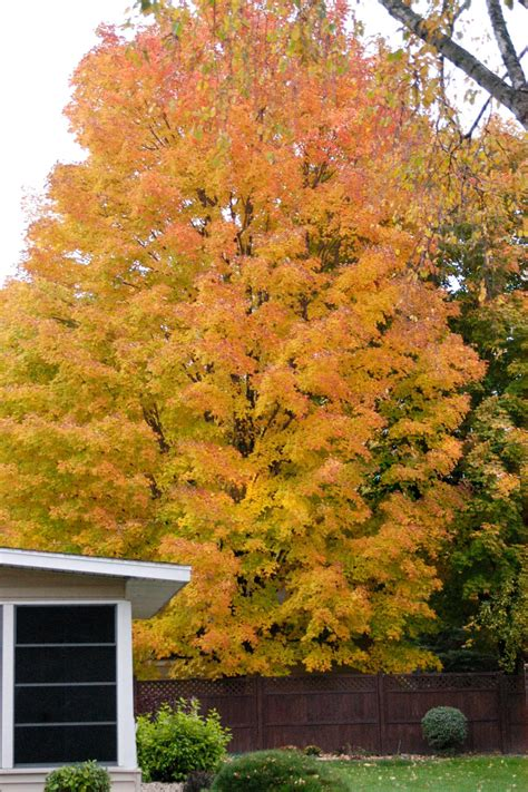maple tree nursery plants with fall interest keep the color coming diy