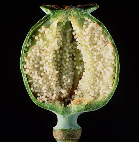 cut seed cut seed capsule of opium poppy photograph by dr