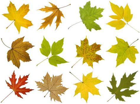 maple tree leaves how to identify maple tree varieties lovetoknow