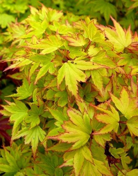 maple tree kingdom 21 best maples and conifers images on garden trees japanese maple and small gardens