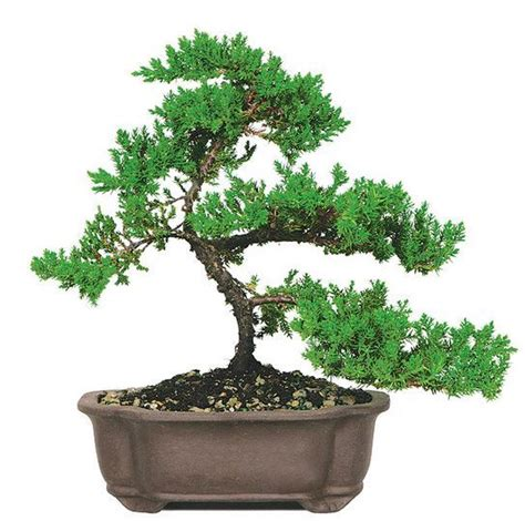 popular types of trees most popular bonsai trees bonsai tree types