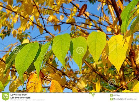 cherry tree yellow leaves autumn yellowed leaves of bird cherry tree autumn landscape stock photo image 60078362