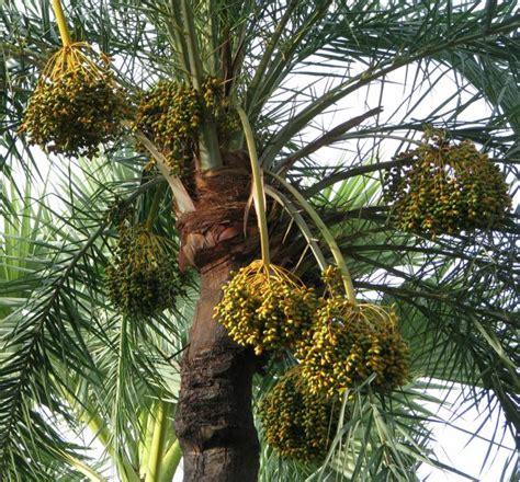 national tree dates date palm fruits feedipedia