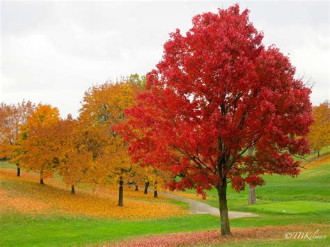 maple tree in fall top 10 reasons thanksgiving is the best