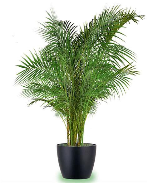 indoor palm 18 best large indoor plants houseplants for home