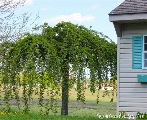 how to prune a weeping cherry tree hymns and verses