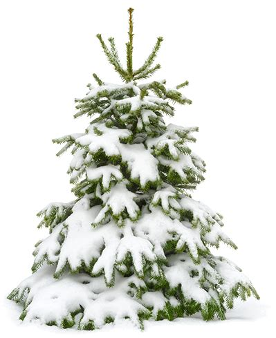 tree with snow 10 ways to protect your trees from and snow
