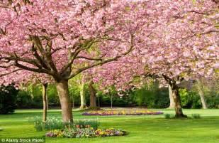 cherry tree wisnie w czekoladzie cherry trees in bloom as officially begins daily mail