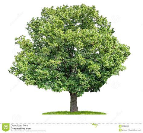 lime tree lime tree clip www imgkid the image kid has it