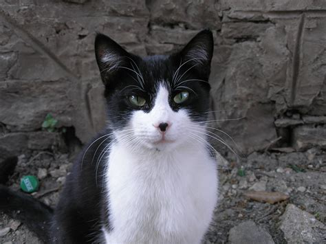black and white cat cedarpaw available for rp