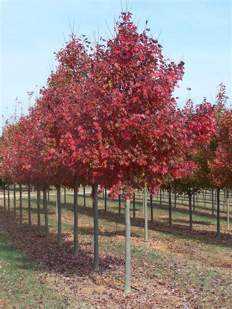 acer rubrum fairview lipstick maple maple tree blerick trees buy trees