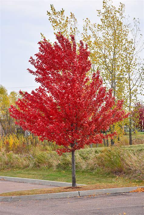 autumn spire maple acer rubrum autumn spire in winnipeg headingley oak bluff manitoba mb