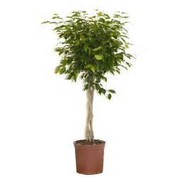 rona tree ficus benjamina rona