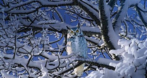 yellow eyed great horned owl 34 kiwis