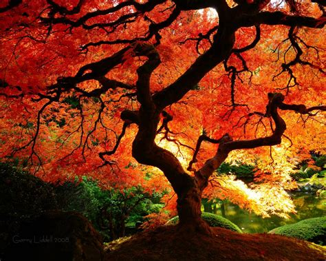 maple tree in fall other sizes 1680x1050 1280x1024 1920x1200