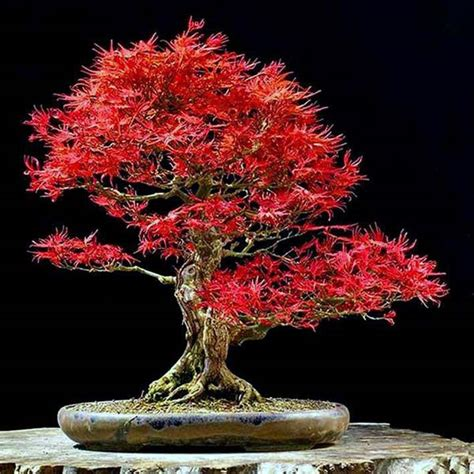 best trees for bonsai you will nurserylive gardening in india