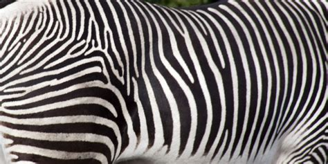 zebra stripes file zebra stripes 5018224290 jpg