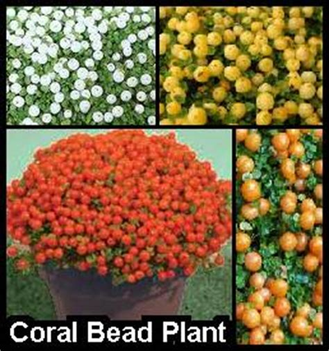 bead plant coral bead plants like to be cool earthdragon s