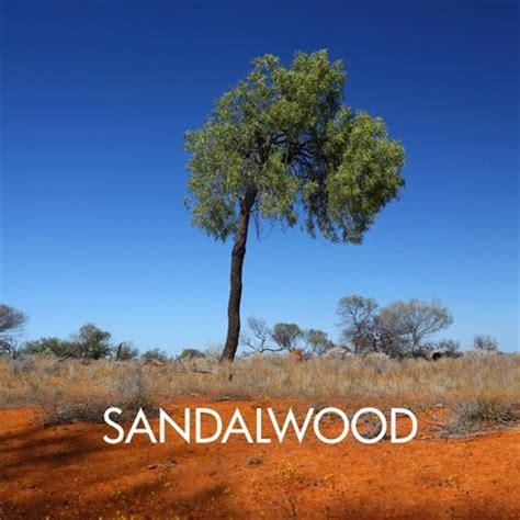 western australian tree sandalwood tree in the western australian outback