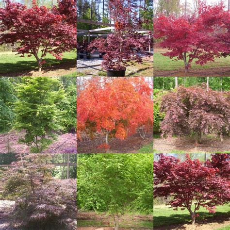 maple tree japanese the japanese maple a deciduous tree graft plant propagation reports